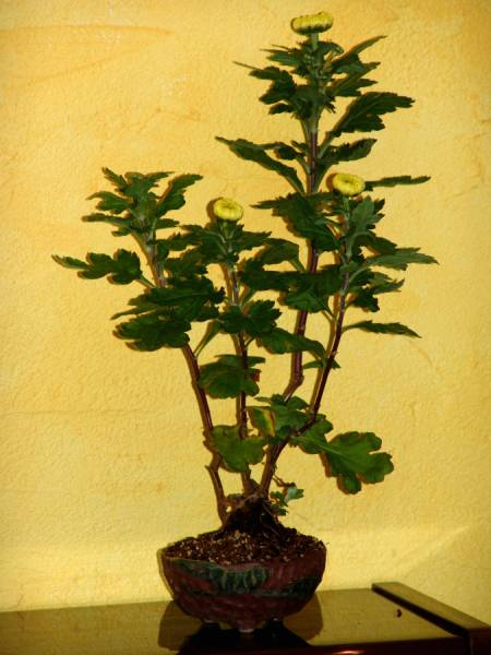 Chrysanthème bonsaï Chrys